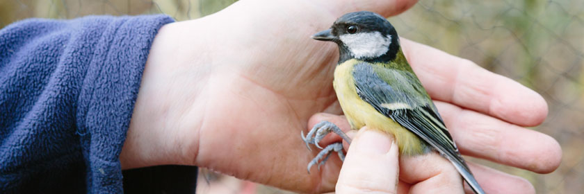 Photograph of a great tit bird being ringed