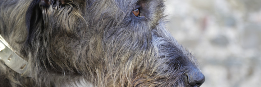 Photograph of an Irish Wolfhound