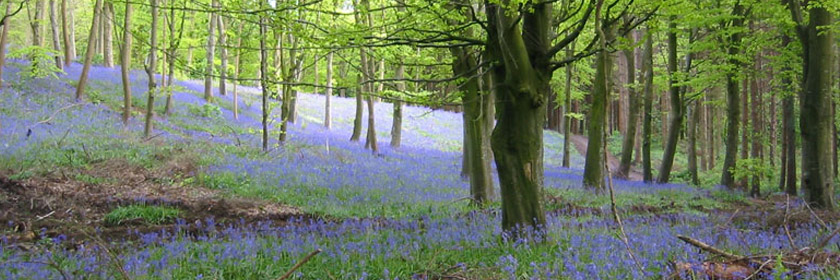 Photograph of Bluebells in Portglenone Forest