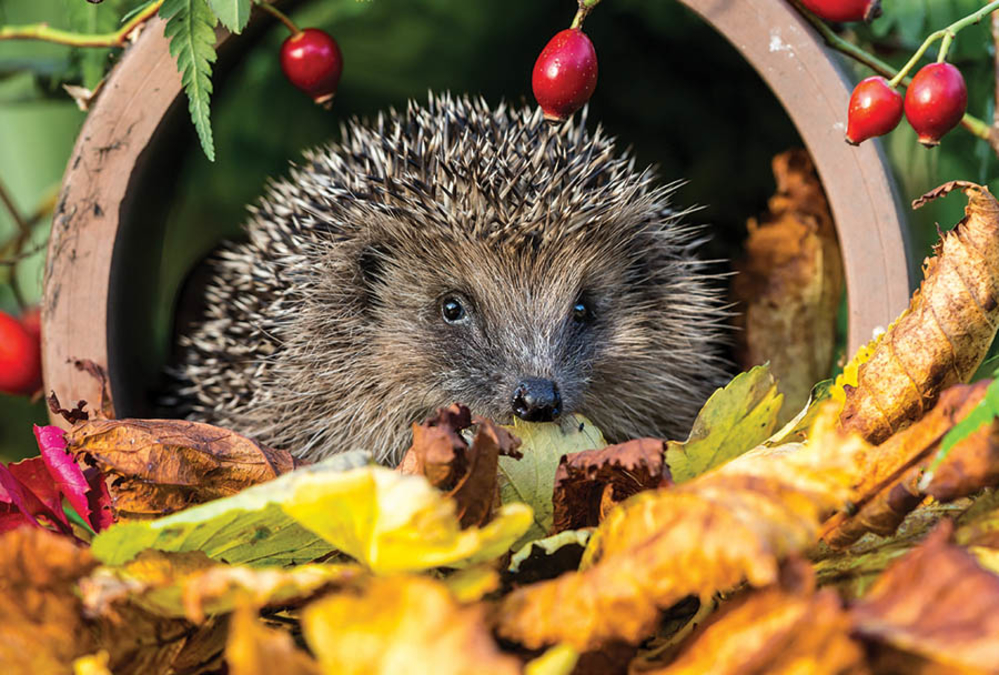 stock image of a hedgehog in some leaves