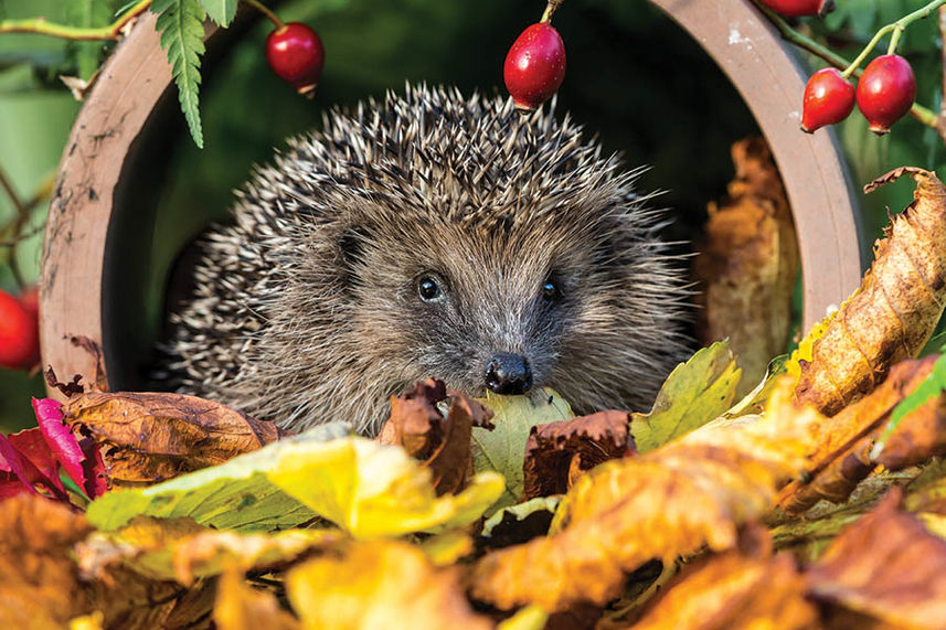 Hedgehogs and Hedgerows image