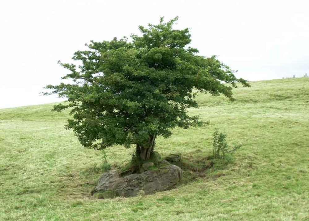 Photograph of a fairy tree in Ireland. Used under CC licence.