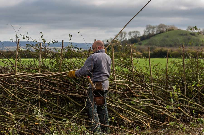 Hedgelaying image