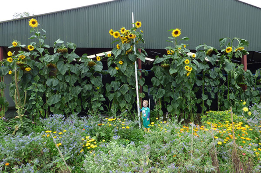 Borough's tallest sunflower announced image